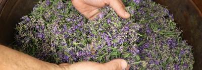 Lavendel Inizio Destillation